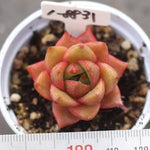 PRESALE Echeveria 'Wild Conversation'