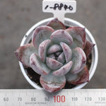 PRESALE Echeveria 'Black Sabbath'