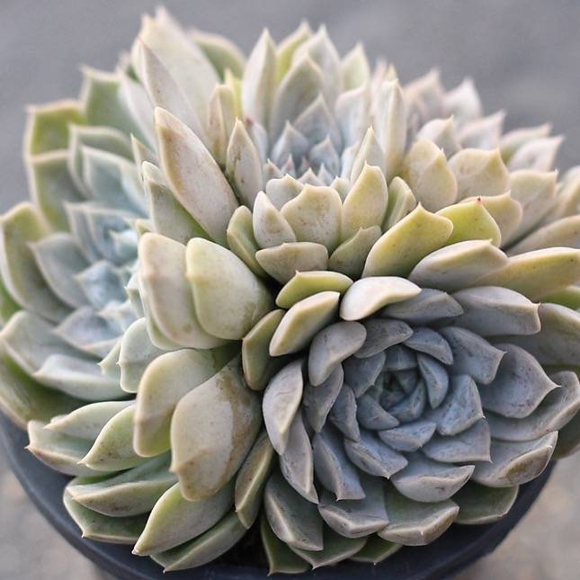 Presale Echeveria Mary Bell Cluster