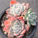 Presale Echeveria 'Alba Beauty,' (Triple)