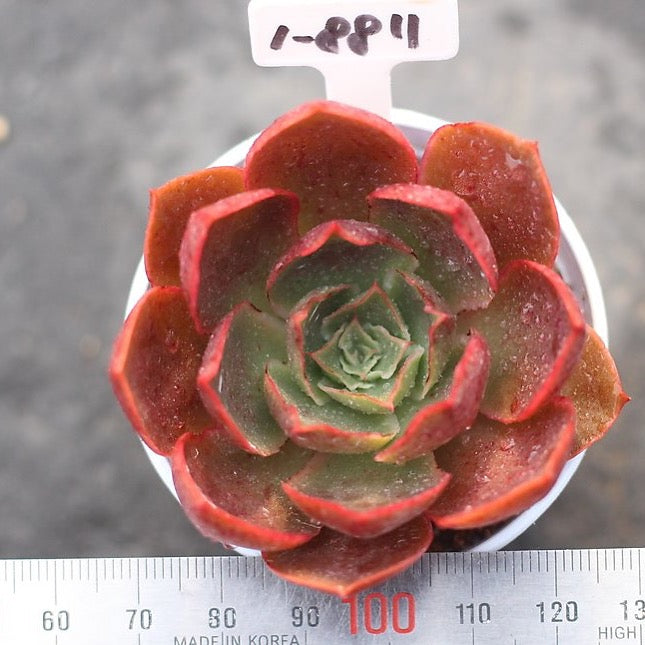 PRESALE Echeveria Unknown (New Hybrid)