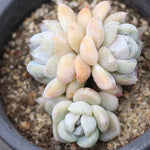 ***SPECIAL REQUEST*** ANONYMOUS- Echeveria Snow Bunny