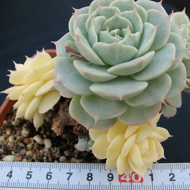 PRESALE Echeveria Glauca Variegata (Not so Random)