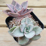 PRESALE Echeveria Bainesii, Variegata, (Not so Random)