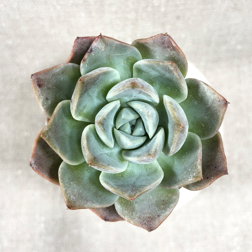 THE GOOD, THE BAD and The UGLY SALE! Echeveria 'Love' Hybrid
