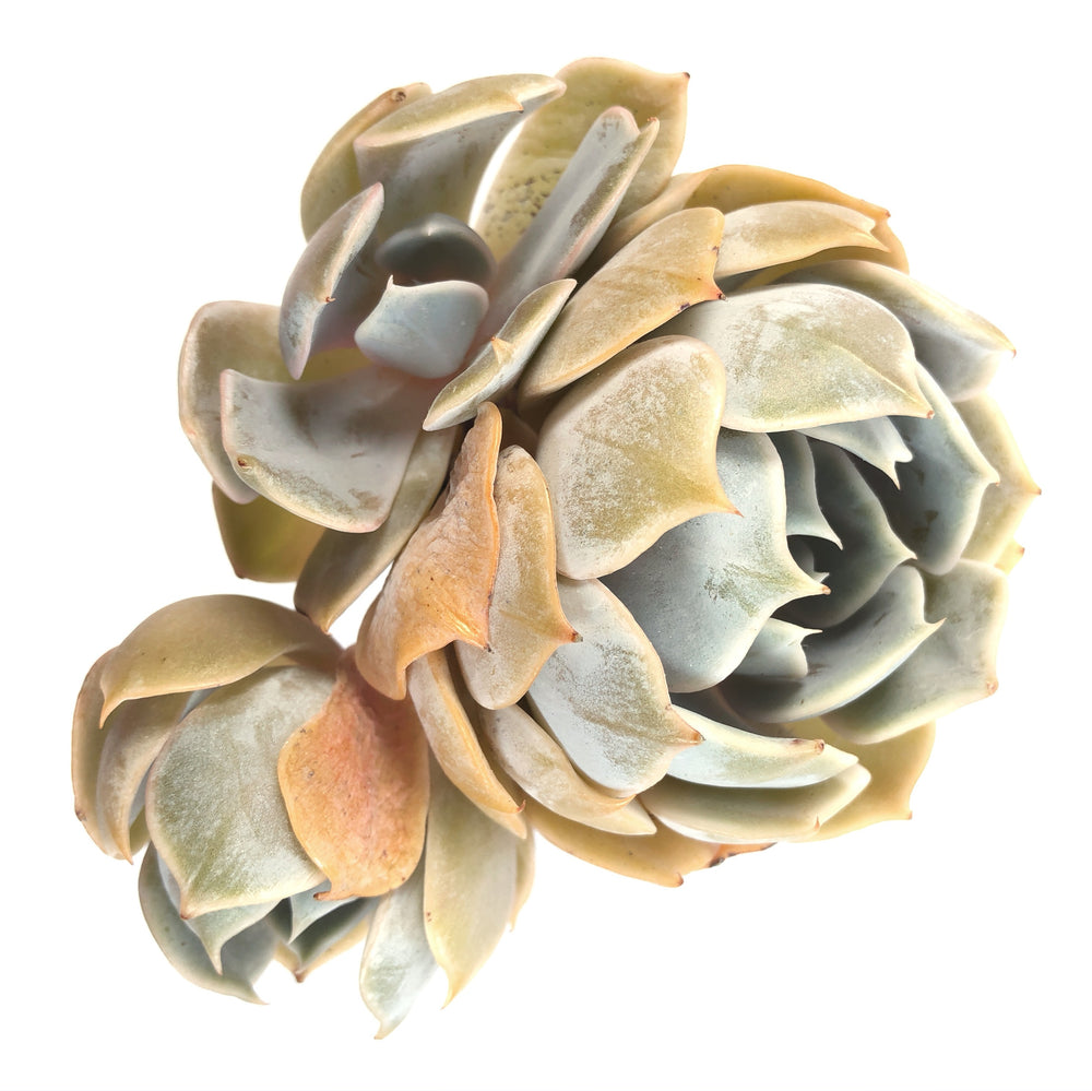 SPECIAL! JUST CART!!! Echeveria Marilyn, Triple