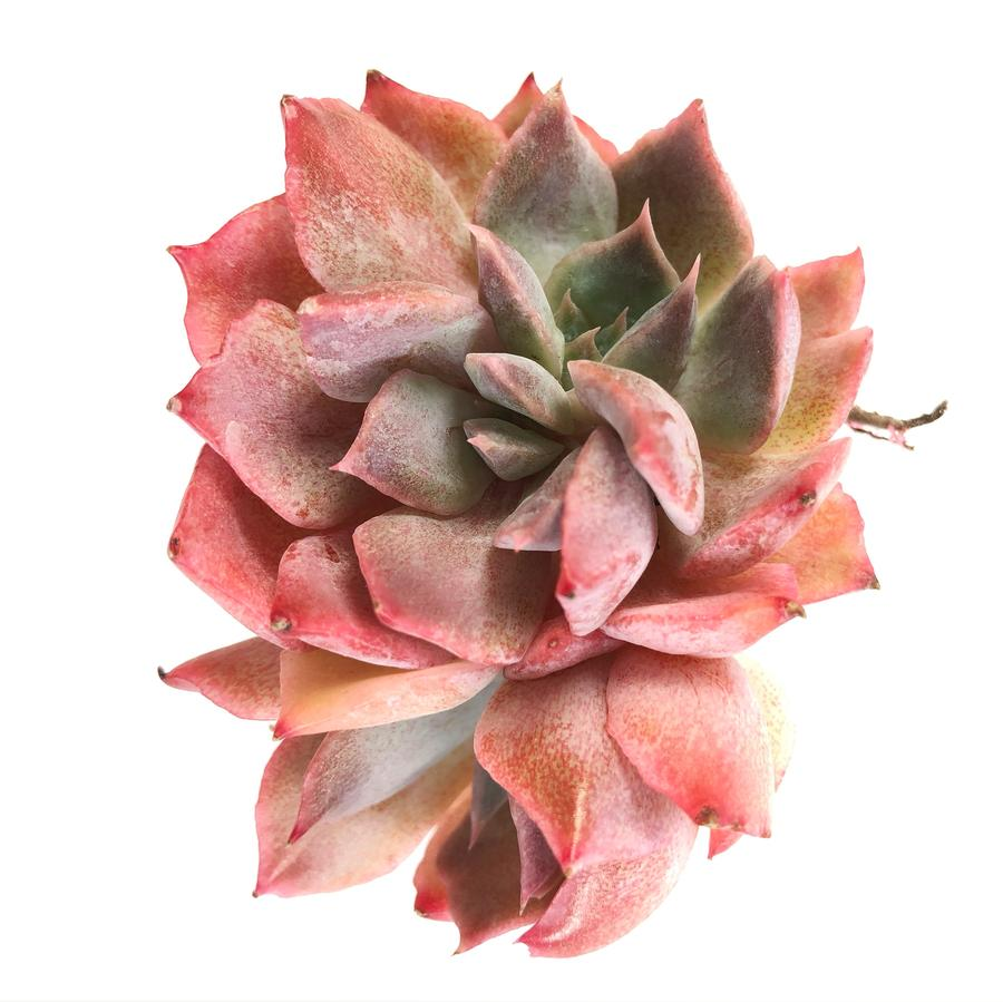 Echeveria Unknown, Cluster