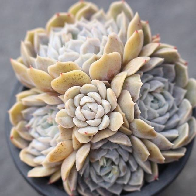 PRESALE Echeveria Mary Bell, (Cluster)
