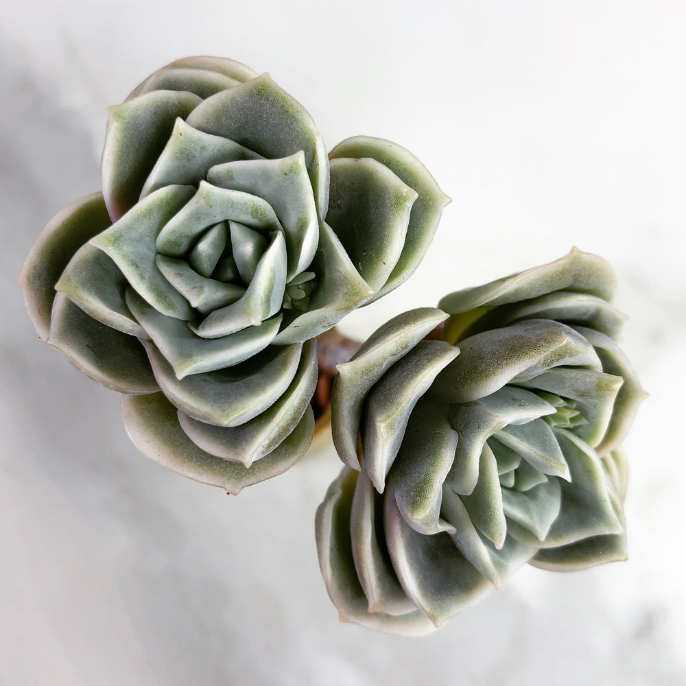 Echeveria Lovely Rose, (Double)