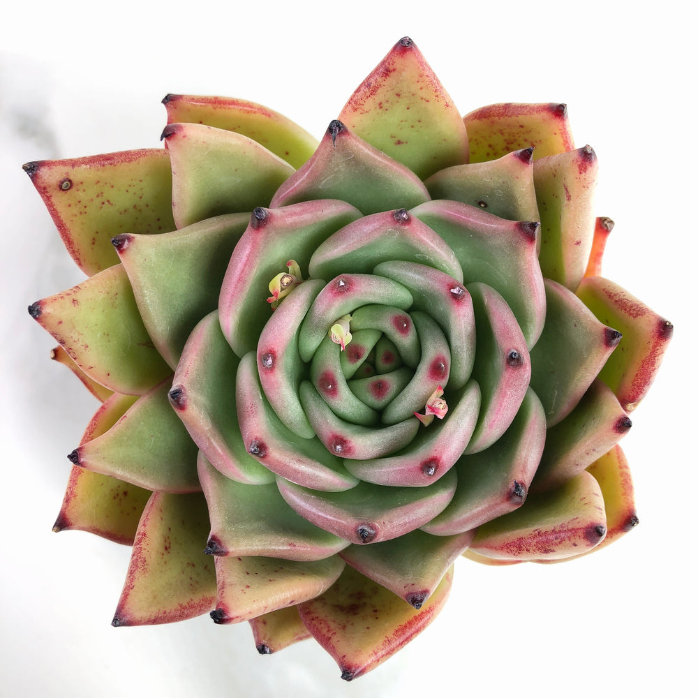 Echeveria Agavoides 'Purple Ebony'
