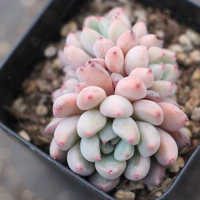 PRESALE Echeveria 'Orange Sherbet'