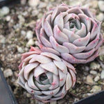 PRESALE Echeveria Gold Light, (Double)
