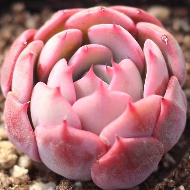 PRESALE Echeveria 'Nana Hook' Sp
