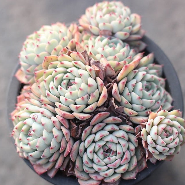 PRESALE Echeveria White Minima