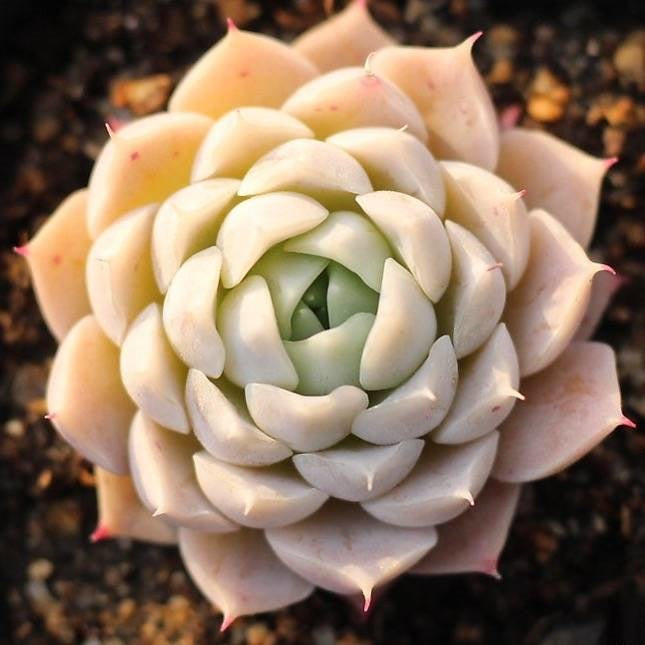 Presale Echeveria Helena Sp