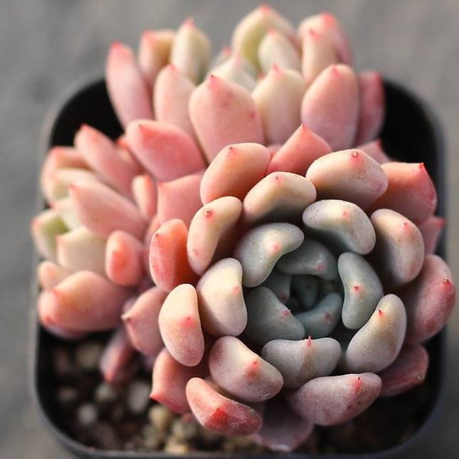 Presale Echeveria 'Orange Sharet'