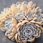 $10 OFF SPECIAL - PRESALE Echeveria Mary Bell, (Cluster)