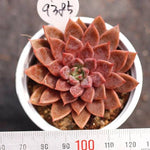PRESALE Echeveria Ebony Hybrid, (New!)
