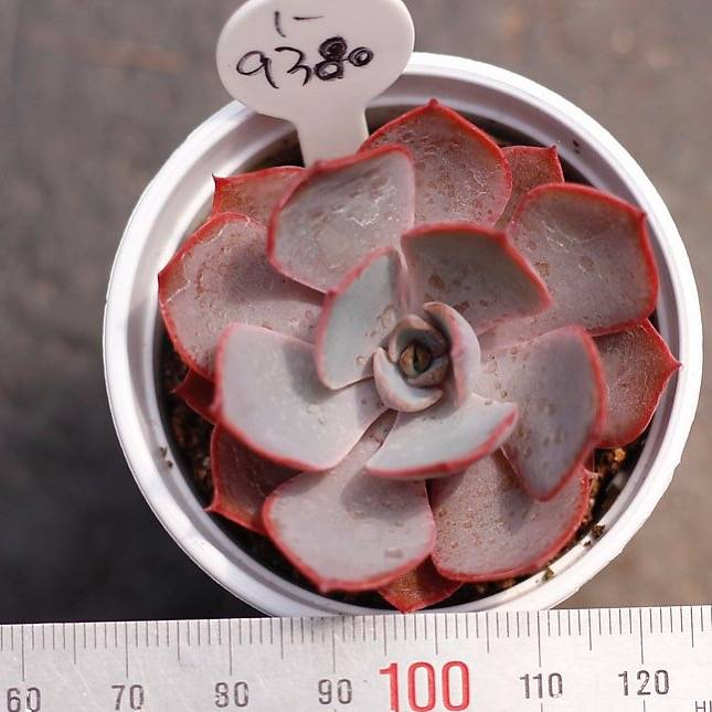 PRESALE Echeveria Dondon