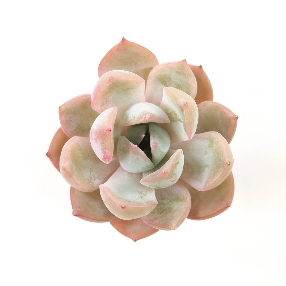 THE GOOD, THE BAD and The UGLY SALE! Echeveria 'Metaphor'