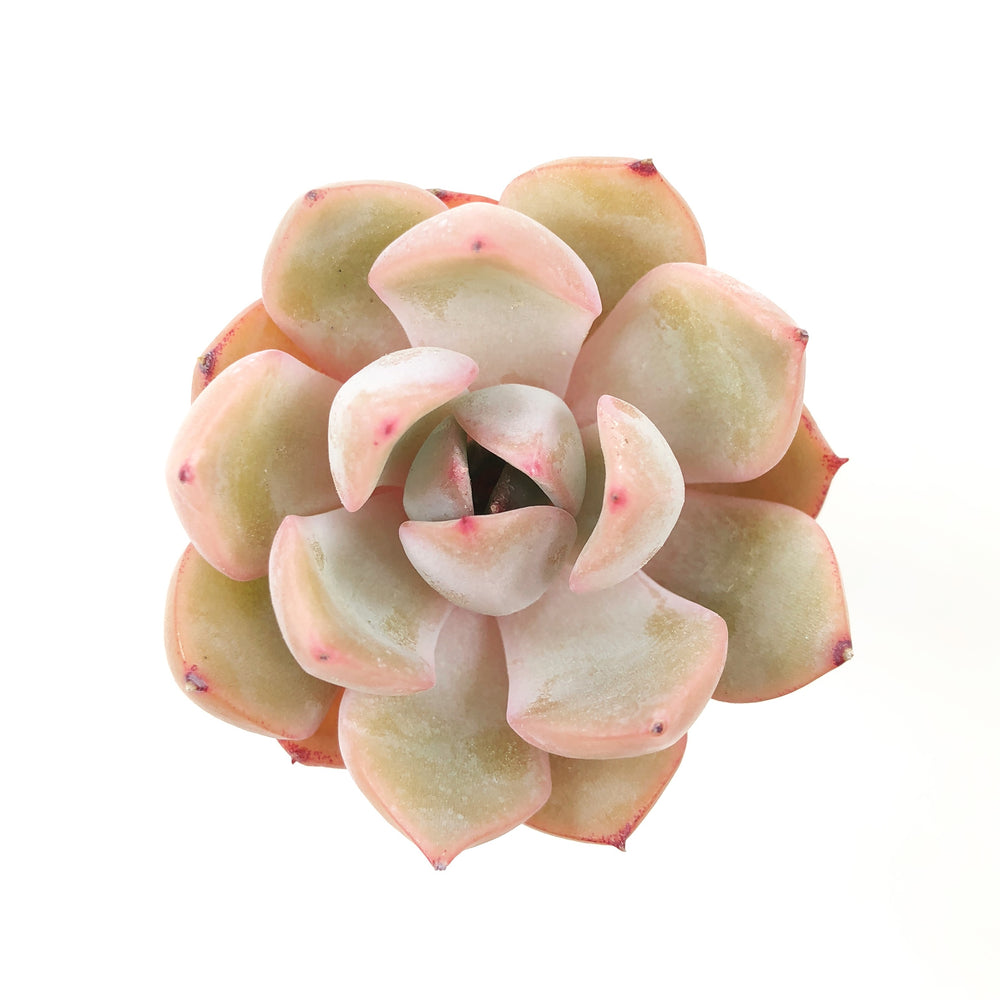 THE GOOD, THE BAD and The UGLY SALE! Echeveria Metaphor