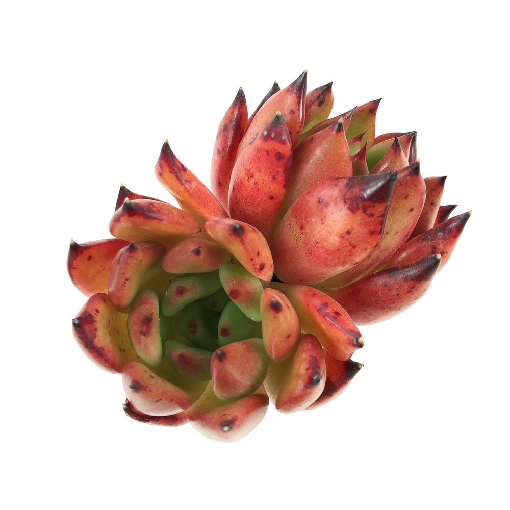 Echeveria Agavoides Rose, (Double)