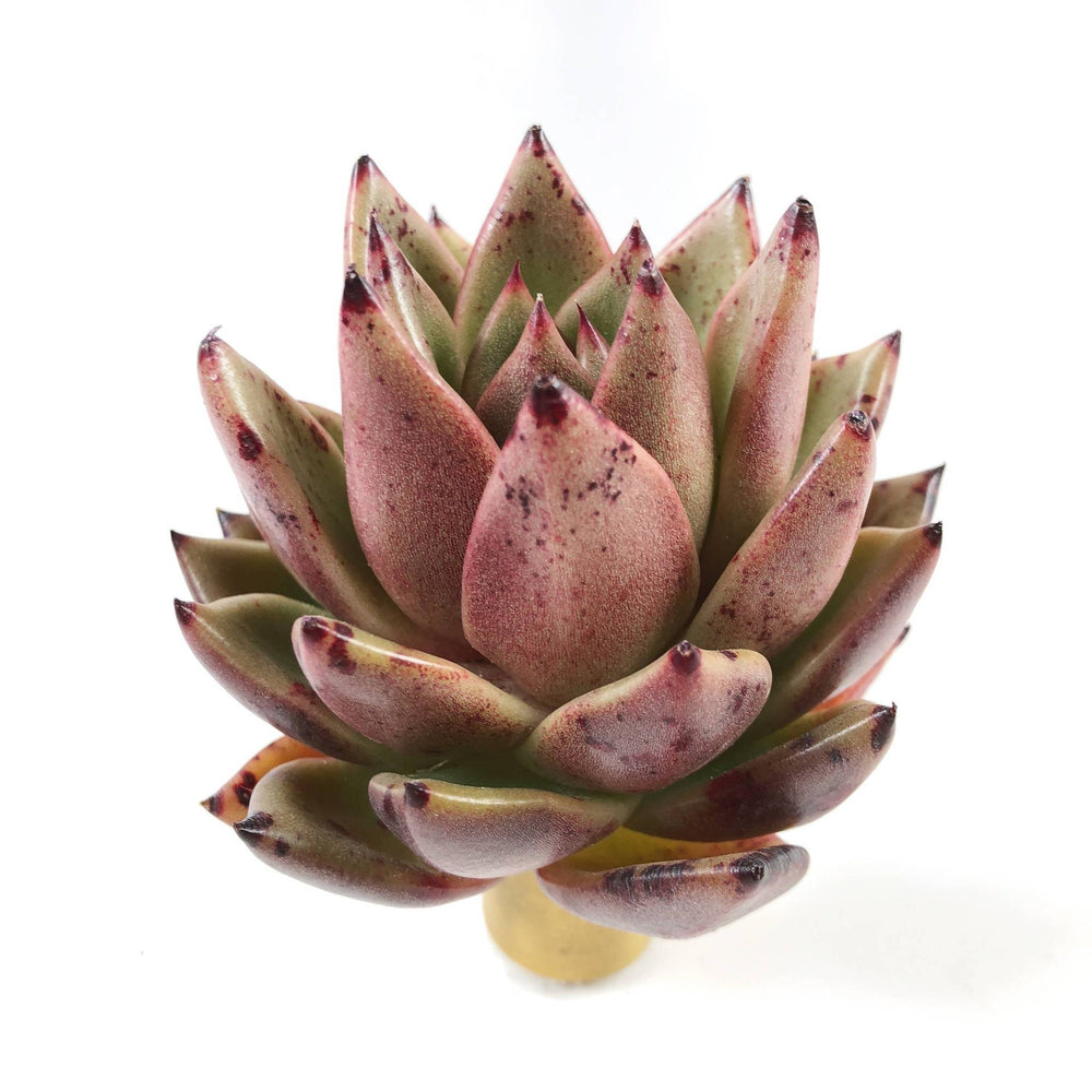 THE GOOD, THE BAD and The UGLY SALE! Echeveria 'Black Forest'