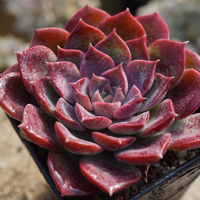 SPECIAL! JUST CART!!! PRESALE Echeveria Mochican
