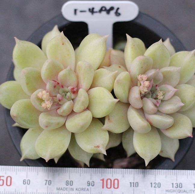 Presale Echeveria Sp