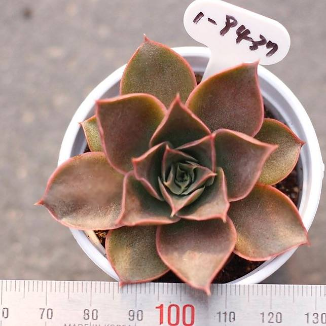 PRESALE Echeveria Belena, (New!)