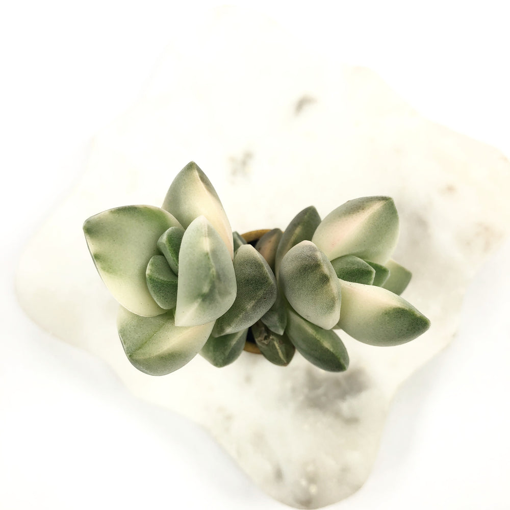 Crassula Moonglow, Variegata (Double)