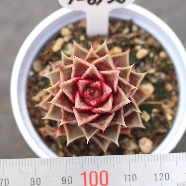 PRESALE Echeveria Paparoz