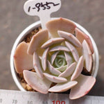 PRESALE Echeveria Texas Rose