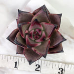 Echeveria Agavoides Ebony (Note: super dark in person, almost charcoal colored)