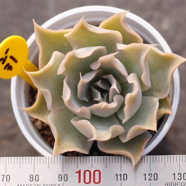 PRESALE Echeveria 'Wally,' (New!)