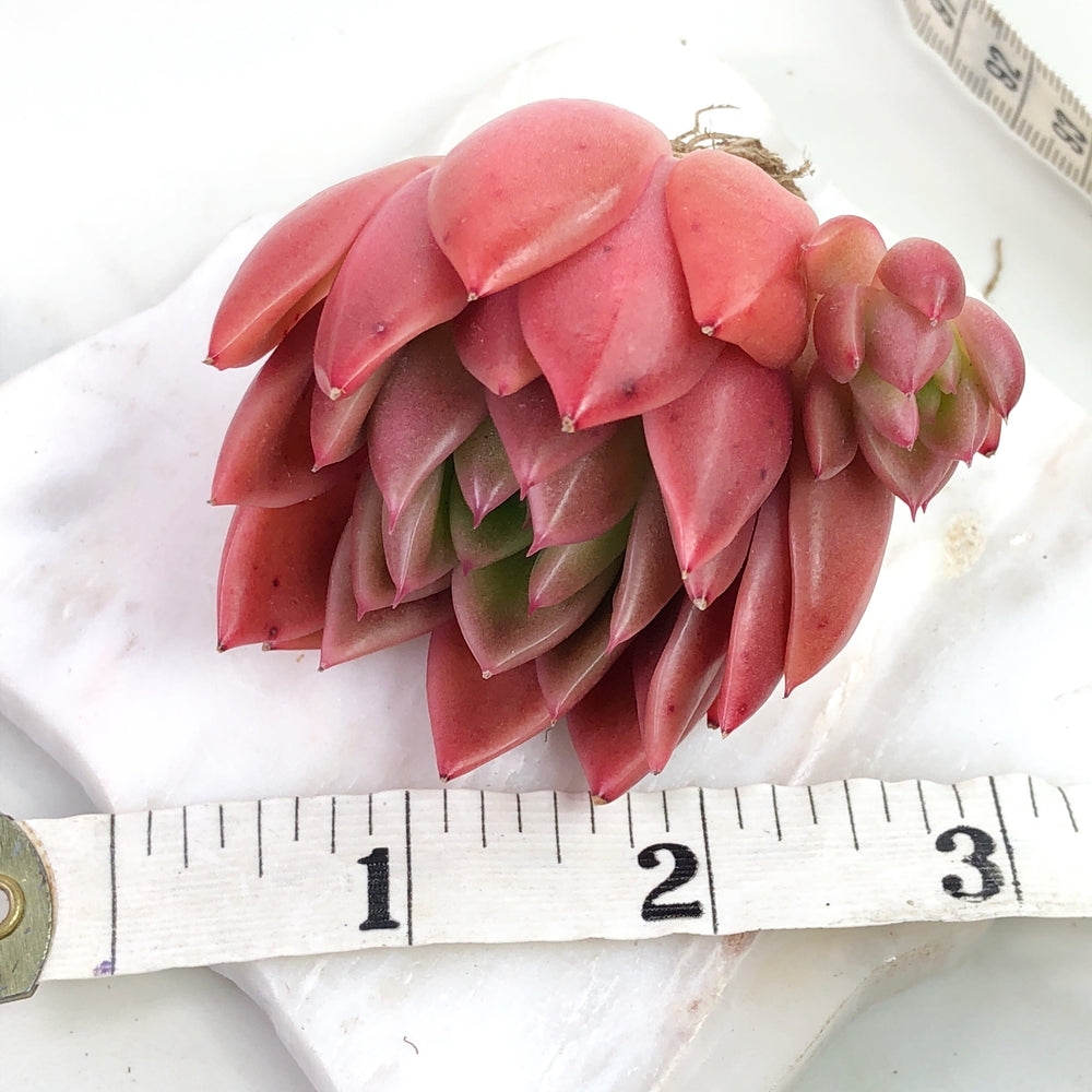 Echeveria Agavoides Sp. (Mark Rudin)