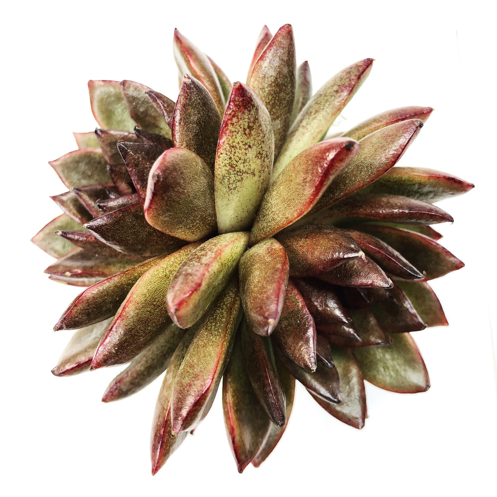THE GOOD, THE BAD and The UGLY SALE! Echeveria Black Rose, (Double)
