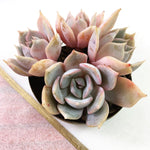 PRESALE Echeveria Gold Money, (Not So Random)