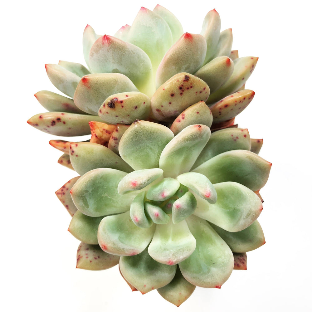 THE GOOD, THE BAD and The UGLY SALE!  Echeveria Ariel, (Double)