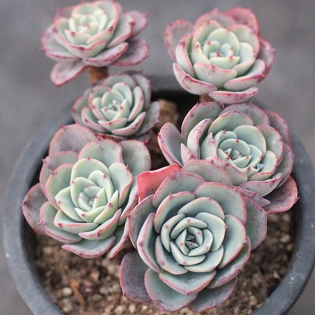 ***SPECIAL PRICE*** Presale Echeveria 'Atlantis'