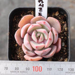 PRESALE Echeveria 'Cassyz Dragon'