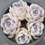PRESALE Echeveria Tiny Berger, (Cluster)