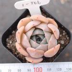 PRESALE Echeveria 'Bark'