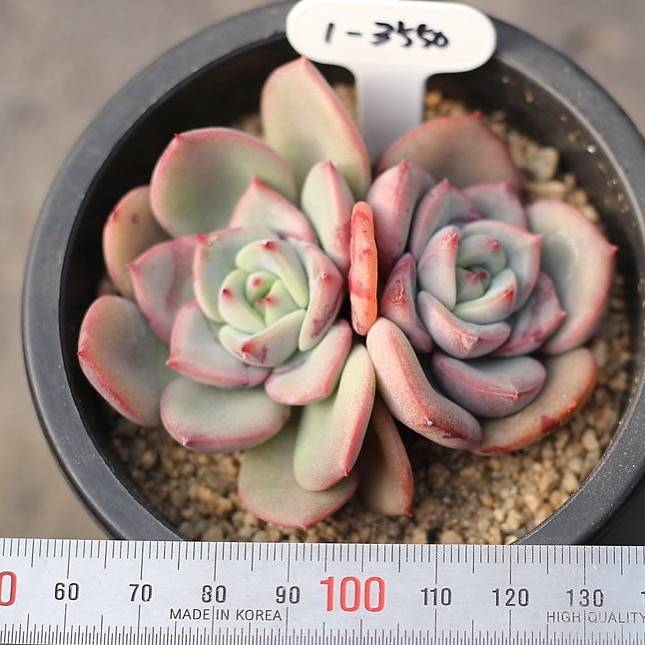 PRESALE Echeveria 'Shalom,' (New)