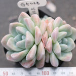 PRESALE Echeveria Ice Green, (Double, with pup)