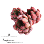 Hwaga Original Hybrid- PRESALE Echeveria Largo