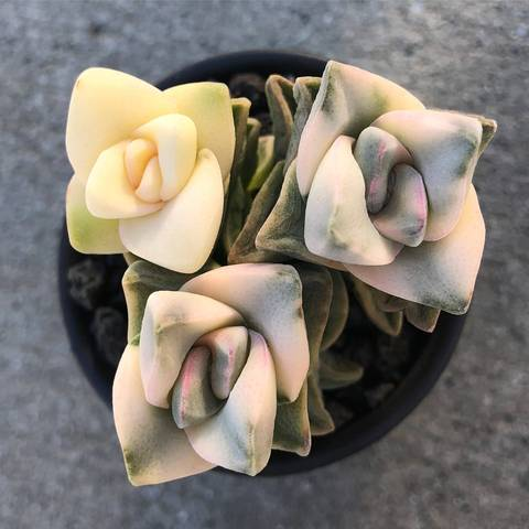 PRESALE Crassula Moonglow, Variegata, (Not So Random)