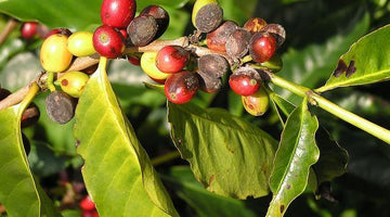 Coffee: a vulnerable crop