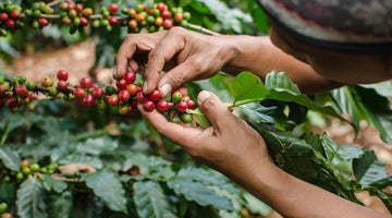 The Coffee Tree: the current state and the future of the plant