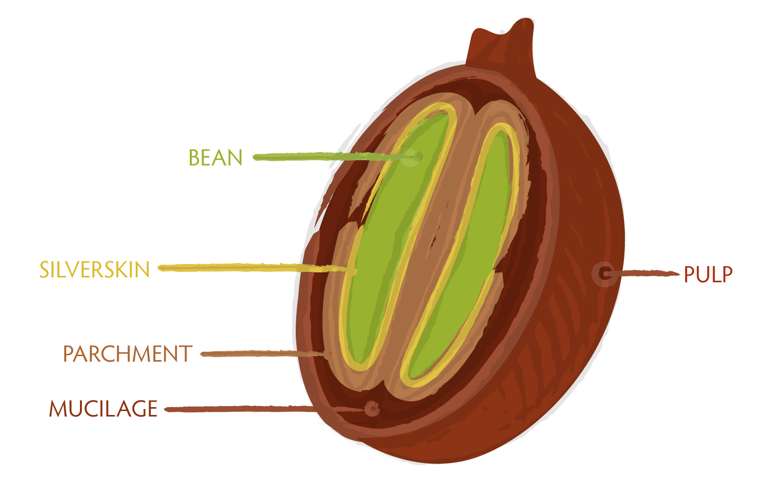Image : Seattle Coffee Works - Anatomy of a Coffee Cherry